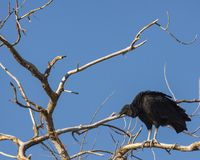 Black vulture ready to take off royalty free stock images