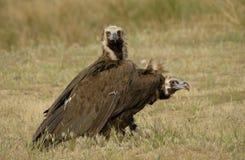 black vulture and natural landscape Stock Images