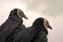 Black vulture pair royalty free stock photos