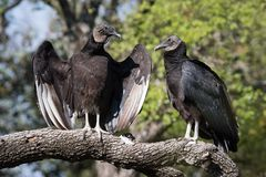Black Vulture Pair Sunning Themselves Stock Photos