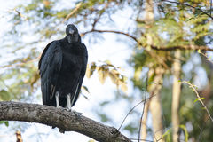 Black Vulture Perched on Branch Royalty Free Stock Image