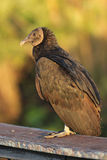 Black Vulture Perched on a Railing Stock Images
