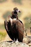 Black vulture perched on a rock Royalty Free Stock Photography