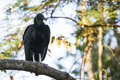 Black Vulture Perched on Tree Branch Stock Images