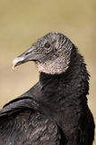 Black Vulture Portrait Royalty Free Stock Photos