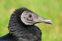 Black vulture Stock Image