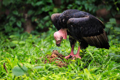 Black vulture red head standing Stock Image
