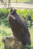 Black vulture resting on a stump Royalty Free Stock Photos