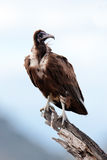 Black vulture sits on branch of a tree. Trans Mara Game Reserve, Kenya Royalty Free Stock Image