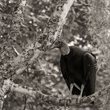 Black vulture is sitting in a tree in the swamps of Louisiana, image in sepia.  Stock Images