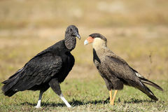 Black Vulture and Southern Caracara Stock Images