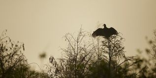 Black Vulture spreading its wings Stock Photography