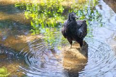 Black Vulture Standing In Shallow Waters Royalty Free Stock Photo