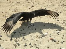 Black vulture standing on the yellow beach sand with stretched wings Royalty Free Stock Image