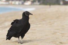 Black vulture. Urubu preto pousado na areia da praia stock photography