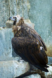 Black vulture in a wildlife. The black vulture in a wildlife Royalty Free Stock Photos