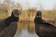 Black Vultures royalty free stock images