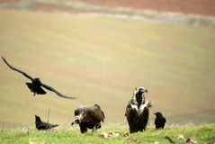 Black vultures Stock Photo