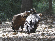 Black vultures Royalty Free Stock Photos