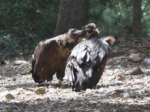 Black vultures Royalty Free Stock Photos