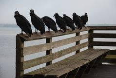 Black Vultures on Bench Stock Image