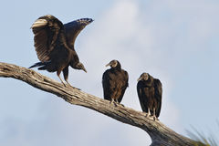 Black Vultures on a Branch - Florida Royalty Free Stock Photography