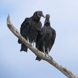 Black Vultures. Detail Black Vultures in tree Everglades National Park Florida Royalty Free Stock Image