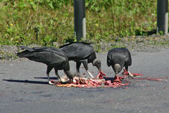 Black vultures eating Royalty Free Stock Photography