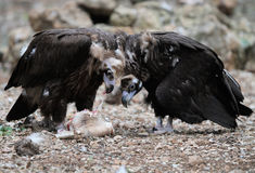 Black vultures eating Royalty Free Stock Photo