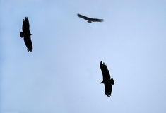 Black vultures Stock Photos