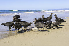 Black Vultures Royalty Free Stock Image