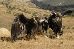black vultures in the mountains Stock Image