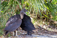 Black vultures Stock Images