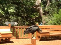 Two Black Vultures on a Deck (Close-Up) Royalty Free Stock Photography