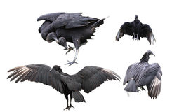 Black Vultures Set Stock Photo