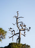 Black vultures sitting on top of the dry wood Royalty Free Stock Image