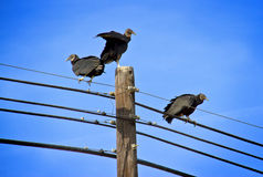 Black vultures with a sky background Stock Image