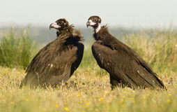 Black vultures in spring Royalty Free Stock Images
