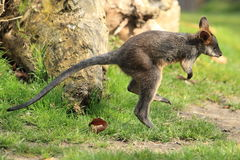 Black wallaby Stock Images