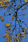 Black walnut Royalty Free Stock Photos