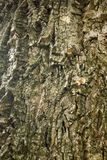Black walnut bark as a background. Rough black walnut bark as a background Stock Photography