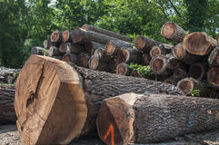 Black walnut saw logs Royalty Free Stock Images