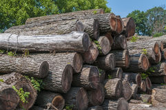 Black walnut saw logs Stock Image