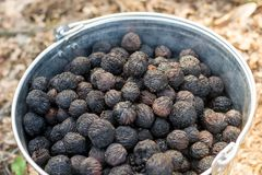Black walnut seeds in a metal bucket before planting. Them in the forest Royalty Free Stock Photography