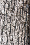 Black walnut tree  background. Royalty Free Stock Photo
