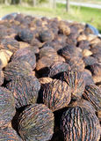 Black walnuts in shells all cleaned and dried in sunlight Royalty Free Stock Photos