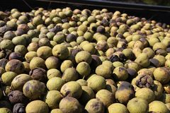 Black Walnuts ripening in the fall Royalty Free Stock Images