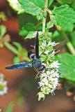Black Wasp Stock Image