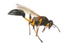 Black wasp Royalty Free Stock Photos