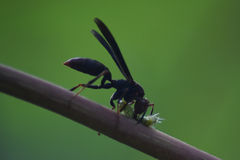 Black wasp killing a bug in amazonas Peru royalty free stock photos